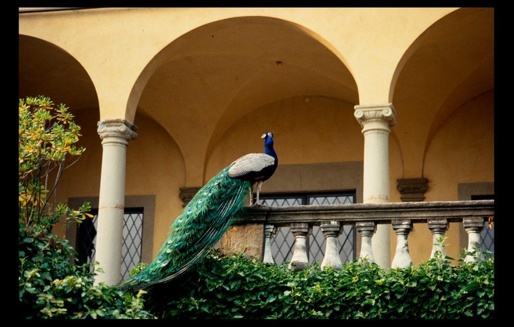 The famous peacock of Villa Schifanoia in June 1996 (Foto Liso / HAEU, EUI 1449)